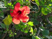Hibiscus -- rose mallow -- Hibiscus Stock Photography