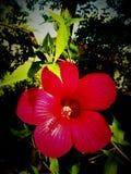 Hibiscus-Rot Lizenzfreie Stockfotografie