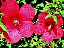 Hibiscus-Rot Stockfotografie