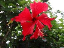 "Hibiscus sabdariffa - ""Jaswand Phool† Στοκ Εικόνα"