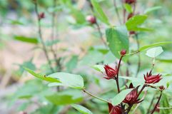 Hibiscus sabdariffa Linn have blur green leaves as background Stock Photos