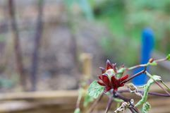 Hibiscus sabdariffa Linn or Rosella have blur blue shovel Stock Images