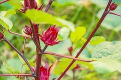 Hibiscus sabdariffa/Roselle Lizenzfreie Stockfotografie