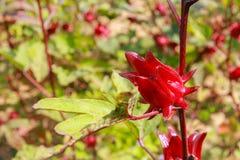 Hibiscus sabdariffa/Roselle Lizenzfreies Stockfoto
