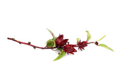 Hibiscus sabdariffa or roselle fruits. On white background Stock Photo