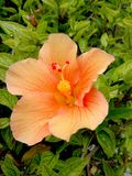Hibiscus salmon color at garden. In the tropical coast of southern Spainn stock photography