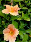 Hibiscus salmon color at garden. In the tropical coast of southern Spain stock images