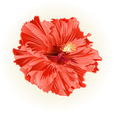Hibiscus salmon color simple flower vector Royalty Free Stock Image