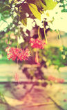 Hibiscus schizopetalus dolce e morbido del fiore nel colore d'annata Fotografie Stock Libere da Diritti