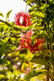 Hibiscus schizopetalus flower Royalty Free Stock Image