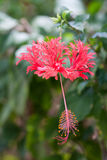 Hibiscus schizopetalus Stock Photo