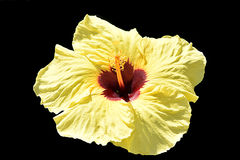 Hibiscus-schwarzer Hintergrund Stockbilder