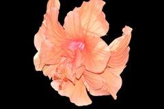 Hibiscus-schwarzer Hintergrund Lizenzfreies Stockbild