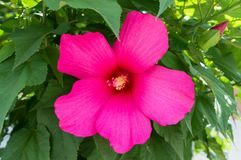 Hibiscus. Shrub with a large pink flower. Close-up. Flowers in the garden royalty free stock images