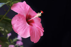 Hibiscus sinensis adonicus pink Stock Images