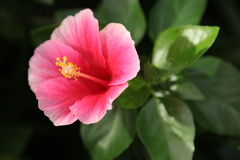 Hibiscus red Chinese rose Stock Photography