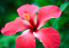 Hibiscus in Sri Lanka Royalty Free Stock Images