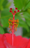 Hibiscus stamen and pistils Royalty Free Stock Image