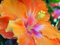 Hibiscus Stamen. Pollen laden stamen on orange hibiscus flower royalty free stock photography