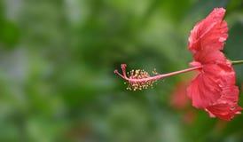Hibiscus-Staubgefäß Stockfoto