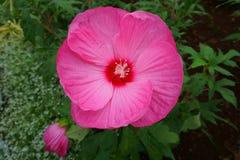 Hibiscus stieg die Malve, die als Zierpflanzen kultiviert wurde stockfoto