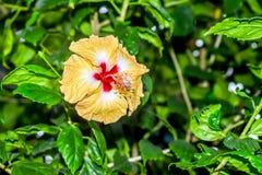 Hibiscus, stieg Malve oder stieg von Sharon, eine Klasse von Blütenpflanzen in den Malvengewächsen von Malvaceae Es ist gebürtig, stockbilder
