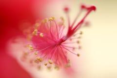Hibiscus stigma. Stock Photo