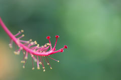 Hibiscus stigma and stamen close up Royalty Free Stock Photo
