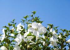 Hibiscus. Summer flowers Stock Photo