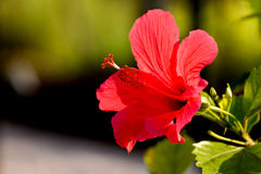 Hibiscus in sun Royalty Free Stock Photos