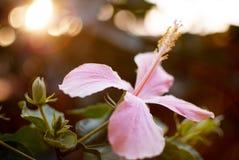 Hibiscus syriacus σε αργά το απόγευμα Στοκ εικόνα με δικαίωμα ελεύθερης χρήσης