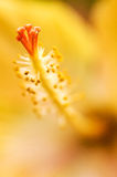 Hibiscus syriacus Lizenzfreies Stockbild