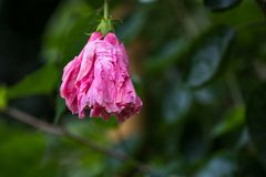 Hibiscus syriacus, also known as Korean Flower and Rose of Sharon stock photography