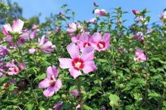 Hibiscus syriacus Stock Images