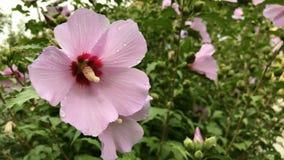 Hibiscus syriacus flowers