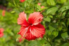 hibiscus syriacus flowers stock photos