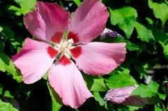 Hibiscus syriacus L. flower stock image