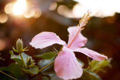 Hibiscus syriacus in late afternoon Royalty Free Stock Image