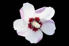 Hibiscus syriacus `Mathilde` white flower isolated on black. Stock Photos
