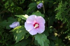 Hibiscus syriacus oder Rose von Sharon-Trompete formten Blume auf dunkelgrünen Blättern und blühen Hintergrund stockbild