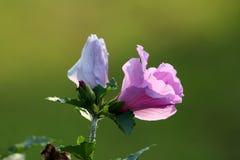 Hibiscus syriacus oder Rose von Sharon-Trompete formten Blume und Blumenknospe auf hellgrünem Blatthintergrund lizenzfreie stockbilder