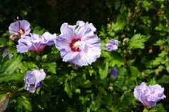 Hibiscus syriacus Stock Photography