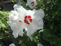Hibiscus syriacus 'Red Heart' Royalty Free Stock Photo