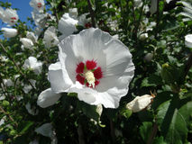 Hibiscus syriacus 'Red Heart' Royalty Free Stock Photos