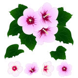 Hibiscus syriacus - Rose of Sharon. Vector Illustration. isolated on White Background. Hibiscus syriacus - Rose of Sharon. Vector Illustration. isolated on Royalty Free Stock Image