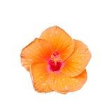 Hibiscus syriacus Stock Image