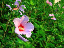 Hibiscus Syriacus Stock Photo