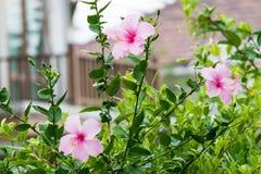 Hibiscus in Thai Stock Afbeeldingen