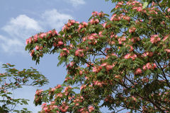 Hibiscus tree Royalty Free Stock Photo