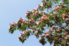 Hibiscus tree Stock Image